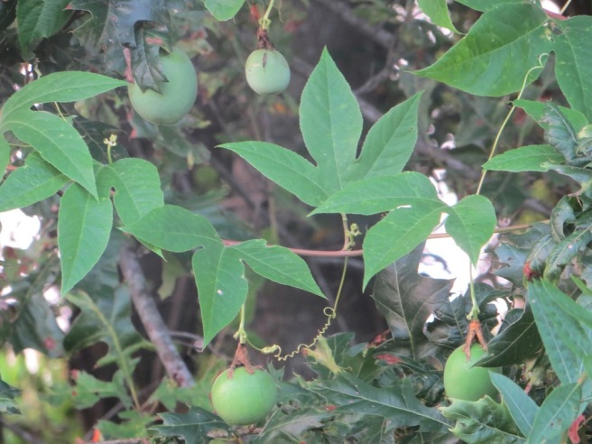 Passion flower vine and fruit