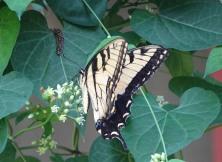 Tiger Swallowtail 2