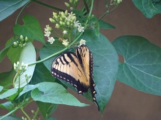 Tiger Swallowtail 4