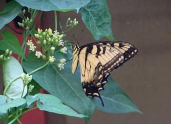 Tiger Swallowtail 5