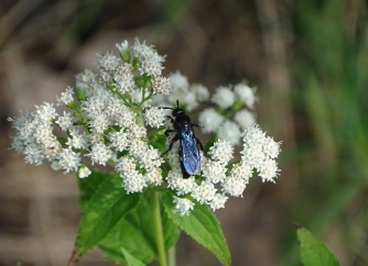 Double-banded Scoliid Wasp