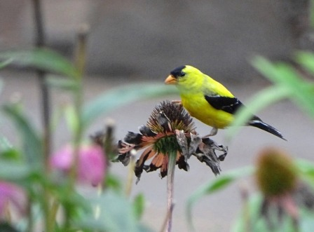 Goldfinch and coneflower 1