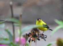 Goldfinch and coneflower 2