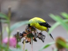 Goldfinch and coneflower 3