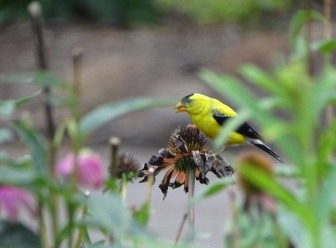 Goldfinch and coneflower 4