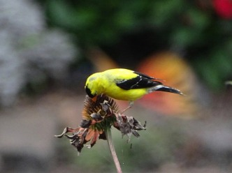 Goldfinch and coneflower 5