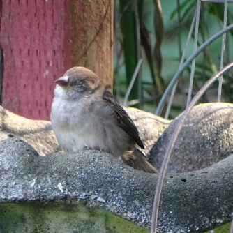 napping sparrow 2