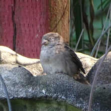 napping sparrow 3