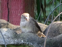 napping sparrow 4