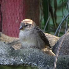 napping sparrow 5