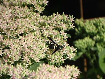 White banded wasp