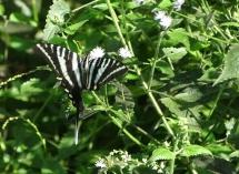 zebra swallowtail 2