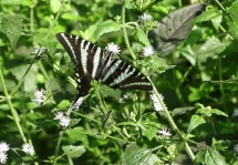zebra swallowtail 3