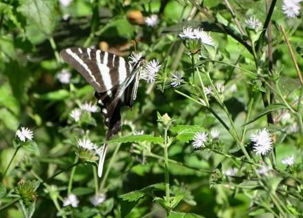 zebra swallowtail 4