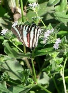 zebra swallowtail 5