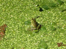 amoung the duckweed 3