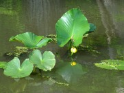 amoung the duckweed 7