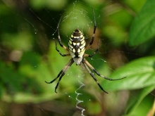 Black and yellow garden spider1