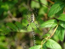 Black and yellow garden spider2