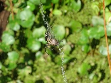 Black and yellow garden spider3