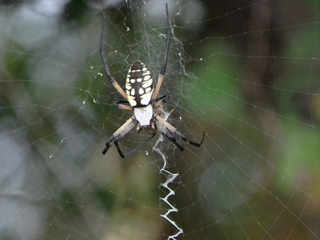 Black And Yellow Garden Spider Walking On A Country Road