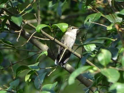 female Ruby-throated Hummingbird 1