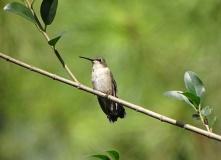female Ruby-throated Hummingbird 2