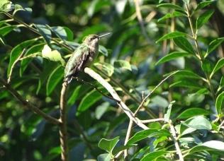 female Ruby-throated Hummingbird 3