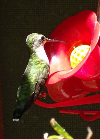 female Ruby-throated Hummingbird 4