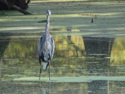 Great Blue Heron5