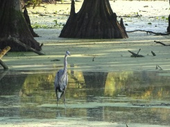 Great Blue Heron6