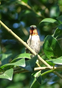 male Ruby-throated Hummingbird 2