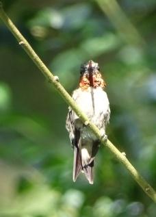 male Ruby-throated Hummingbird 5