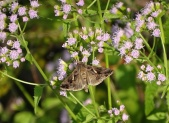 Moth on Mistflower