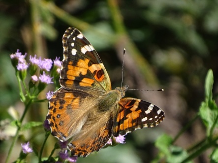 Painted Lady Butterfly1