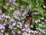 Painted Lady Butterfly2