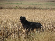 dog in a cut corn field