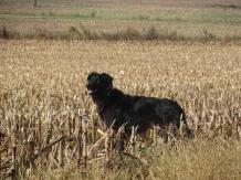 dog in a cut corn field