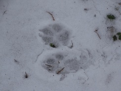 Animal tracks in the snow 1
