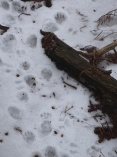 Animal tracks in the snow 10