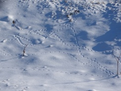 Animal tracks in the snow 2