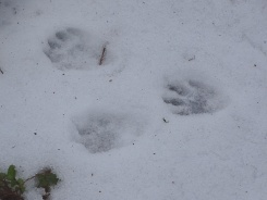 Animal tracks in the snow 3