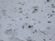 Animal tracks in the snow 9