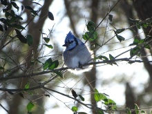 Blue Jay 3