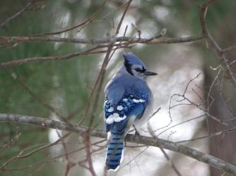 Blue Jay 4