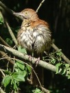 Brown thrasher after taking a bath 2