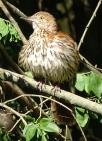 Brown thrasher fluffing feathers after bath