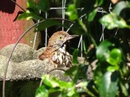 Brown thrasher taking a bath