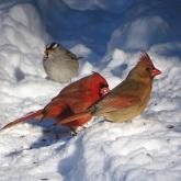 Cardinal 10