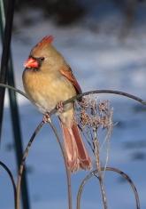 Cardinal 6